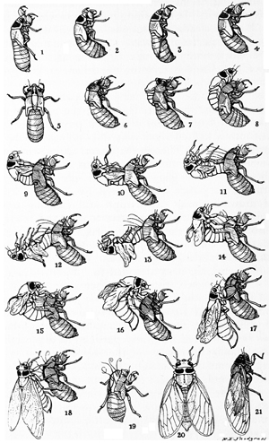 how to keep cicadas alive